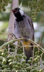 IMG_4013 (malcolm jardine2011) Tags: bahrain bulbul whitecheeked