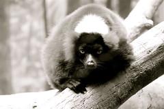 Lemur at the Madagascar Exhibit at the Bronx Zoo, NYC (ChrisGoldNY) Tags: nyc newyorkcity usa newyork nature animals america bronx bronxzoo gothamist lemurs thebronx mammals madagascar exhibits zoos chrisgoldny chrisgoldberg chrisgold chrisgoldphoto chrisgoldphotos