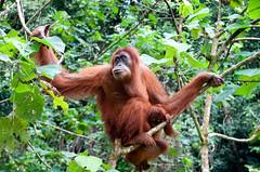北蘇門答臘的紅毛猩猩。照片來源:The Exo Guy網路相簿