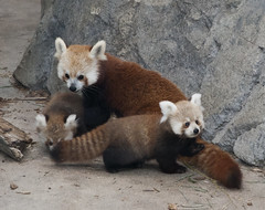Red Panda Cubs at Smithsonians National Zoo Named for Stormy Night (Smithsonian's National Zoo) Tags: usa smithsonian dc washington tate redpanda nationalzoo pili shama phylumchordata kingdomanimalia classmammalia ordercarnivora asiatrail redpandacubs genusailurus speciesfulgens familyailuridae