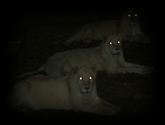 Intimidated (Angella's Photography) Tags: africa vacation night photography la eyes glow place south contest winner lions feed 3rd angella