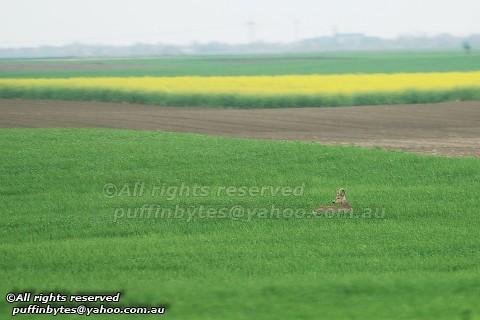 European Roe Deer - Capreolus capreolus