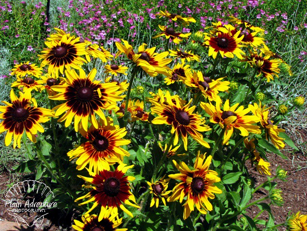 Sunflower Indian Blanket