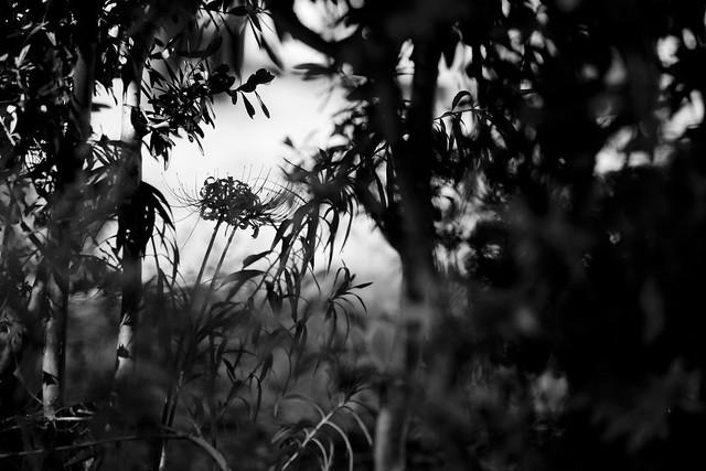 lycoris radiata Herb~monocrome