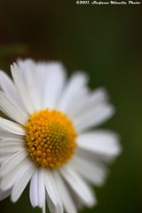 121/365 [365 Project] - Daisy (Stefano.Minella) Tags: macro photoshop canon project eos for is photo crazy day dof with im post 33 lol  100mm daisy l production 121 365 usm f28 ef margherita stefano lightroom 500d 121st 2011 minella supershot cs5 fantasticflower 121365 mygearandme mygearandmepremium mygearandmebronze mygearandmesilver