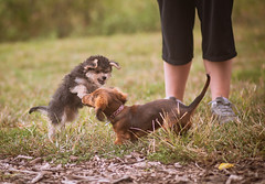 puppy fight!! (tumbleweed.in.eden) Tags: cute dogs pups puppies mini dogpark cliche minidaschund morkie clichesaturday