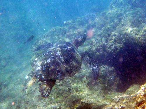 green sea turtle!