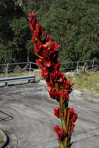 Flowers on Giant Spear Lily