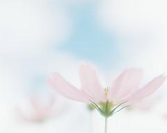 *cosmos (fangchun15) Tags: flower 120 film japan kodak 6x7 portra400 コスモス pentax67 巾着田