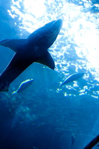 sharks2 (1 of 1)