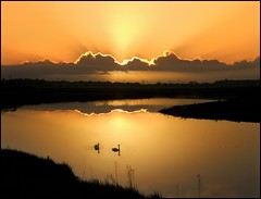 Floating on golden ponds (adrians_art) Tags: sky cloud water sunrise reflections golden silhouettes muteswans
