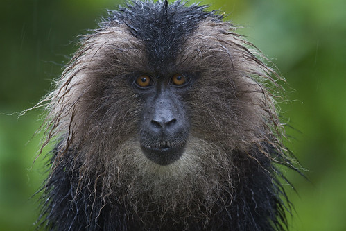 I am Wookie - A young lion-tailed macaque looks me in the eye