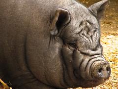 Pig (garryknight) Tags: animal canon pig powershot isleofwight creativecommons seaview lightroom seaviewwildlifecentre sx220hs