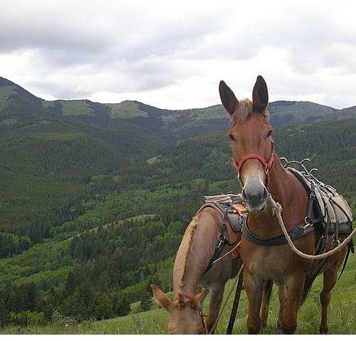 ecuador-mules