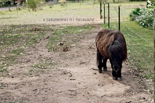 William the pony at Lynkeys, by twoguineapigs pet photography