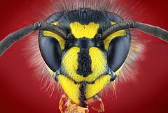 Gemeine Wespe / common wasp / Vespula vulgaris (Matthias Lenke) Tags: eye yellow compound wasp head gelb common auge antenna yellowjacket vulgaris kopf mandible wespe vespula vespinae gemeine fhler facettenauge komplexauge mandibel clypeus kurzkopfwespe stirnplatte