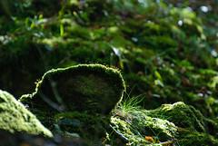 backlit moss ( the green sort ;o) (devonteg) Tags: leaves nikon september backlit ferns exmoor mosses 70300 2011 d80 danesbrook