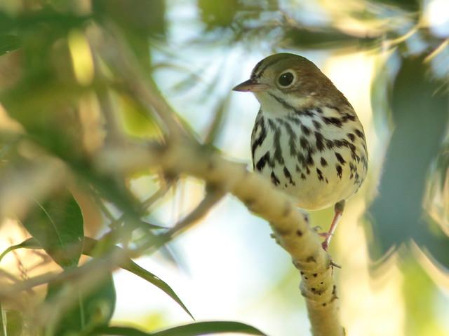 Ovenbird 3-20110928