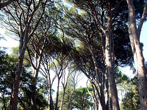 les grands pins du château d'Astros.jpg