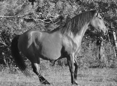 ~~Pose ? ~~ (Jolisa) Tags: bw horse nature caballo cheval nikon bn pferd elisa jument plantecheval
