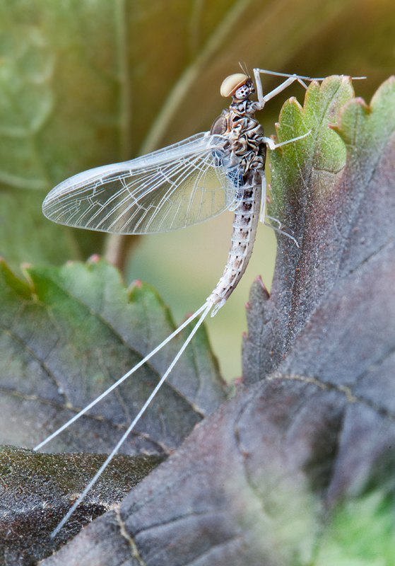 Fall Mayfly Supermacro