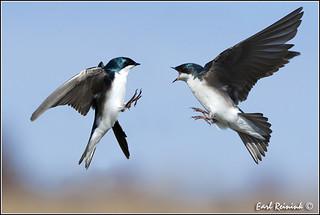 Tree Swallow (20110423-3216) - Explore