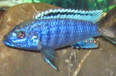 Melanochromis joanjohnsonae Likoma Island