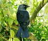 Jackdaw. Look at that eye. Explored (Paul (Barniegoog)) Tags: autumn bird garden october explore blackbird jackdaw mygearandme mygearandmepremium