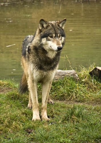 Wolf_200211_3251 by Big_J/Joseph Pearson
