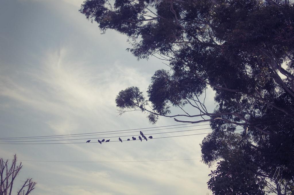 eukalyptus och fåglar