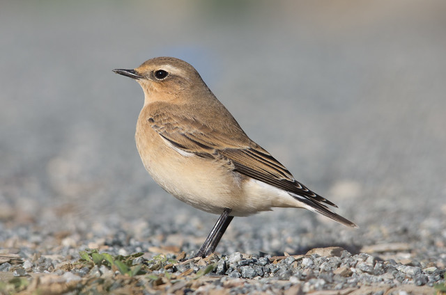 wheatear uncropped
