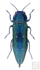 Agrilus ventricosus (Kohichiroh) Tags: japan insect stack specimen coleoptera buprestidae jewelbeetle woodboringbeetle
