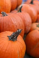 Awaiting the Great Pumpkin (Read2me) Tags: orange fruit pumpkin stem dof many duele cye gamewinner friendlychallenges thechallengefactory agcgwinner herowinner superherochallengewinner pregamesweepwinner
