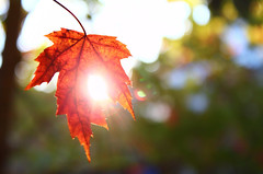 Picture Fall Day 18: Muse (kkirby864) Tags: autumn light orange sun sunlight fall hope leaf bright bokeh seethrough frail