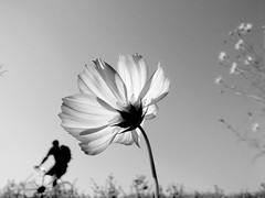 Cosmos (SOVA5) Tags: sky blackandwhite plant flower bicycle river ricoh cosmos grd grd2 grdigital2