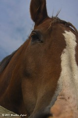 OnTheNorthFork_0081 (Heather Lefo) Tags: horses longisland winecountry longislandbeaches heatherlefort