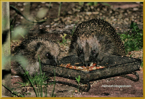 Mother and Juvenile Hedgehogs 2