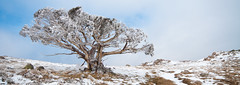 Summit Snowgum (Try Angus) Tags: park winter mountain snow ski trekking trek landscape snowshoe photography photo high nikon mt hiking stirling country sigma australia victoria hike hut alpine national summit craigs wilderness nikkor 1020 d300s