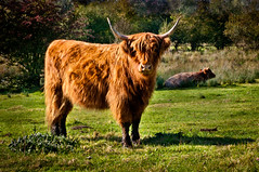 Highland Cattle (pickup2sticks 6.1 million views) Tags: shadow england color colour field grass animal cow cattle farm sony farming sigma highland pasture ambient warwickshire herbivore tamworth a700 gjkerr