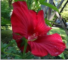 Hibiscus (Meino NL) Tags: hibiscus