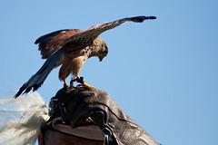 Greifvogelshow (Alexander J.) Tags: bird animal canon sigma weller tier burg falknerei hohen neuffen
