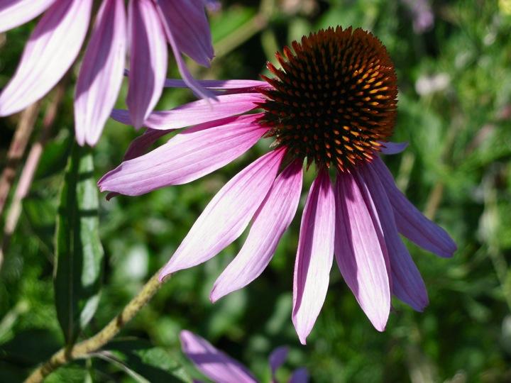 echinacea flower 001