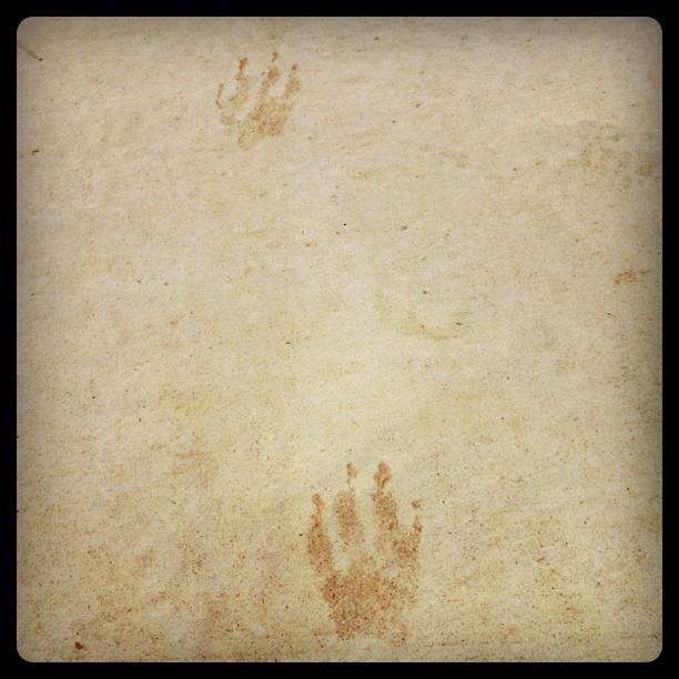 Racoon footprints