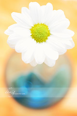 Romance (dhmig) Tags: light stilllife orange white flower nature beauty yellow closeup petals nikon dof bokeh happiness naturallight indoor romance simplicity daisy springtime immagination 50mmf28 fragility softcolours roundshape nikond7000 dhmig dhmigphotography