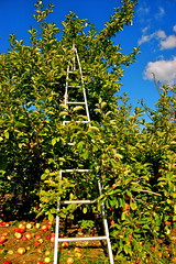 apple ladder (Kadeefoto) Tags: fall shelburnefarm farm massachusetts orchard ladder applepicking stowema