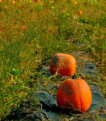 and then there were two (Kadeefoto) Tags: fall pumpkin shelburnefarm farm massachusetts applepicking stowema