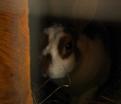 hiding (Kadeefoto) Tags: rabbit fall shelburnefarm farm massachusetts applepicking stowema