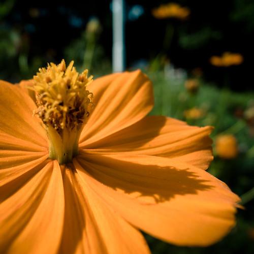 End of Summer Sun Dial Flower
