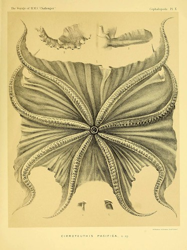 008-Report on the Cephalopoda collected by H. M. S. Challenger …1886- William Evans Hoyle.