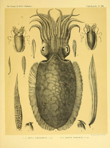 009-Report on the Cephalopoda collected by H. M. S. Challenger …1886- William Evans Hoyle.